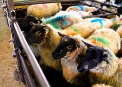 Sheep marts: Tough week for spring lambs