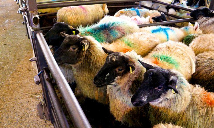 Sheep marts: Tough week for spring lambs