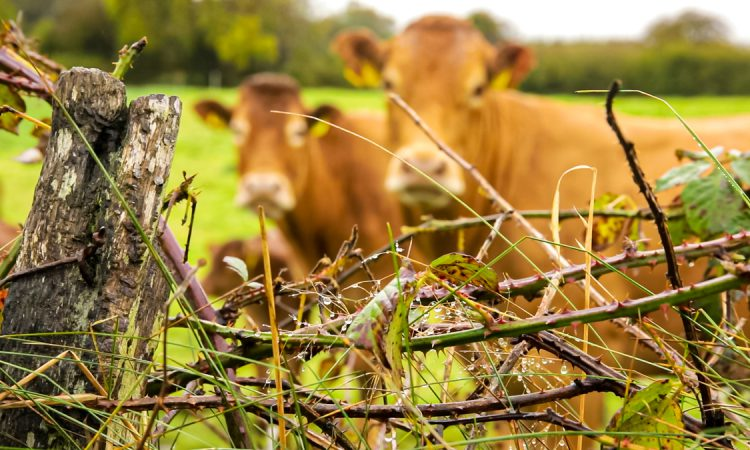 Fears PGI could prevent NI farmers from using term 'Irish grass-fed beef'