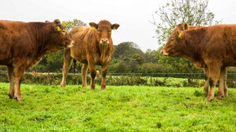 Department launches national opposition procedure for 'Irish Grass Fed Beef' PGI application