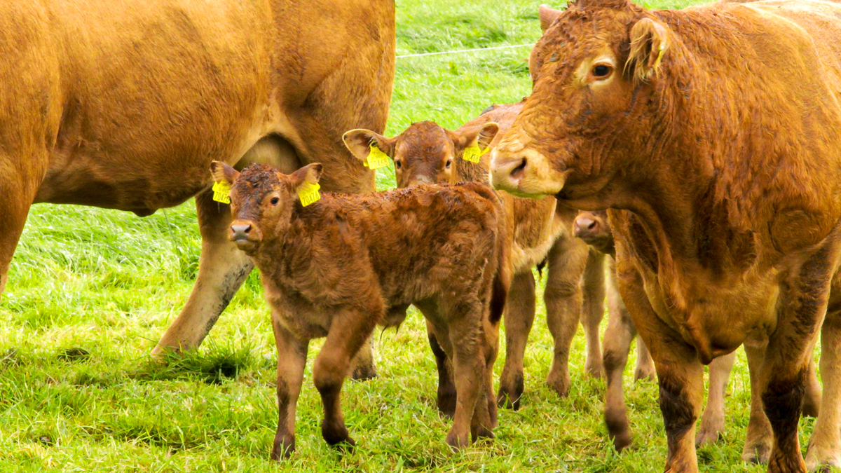 2021 beef calving reports: Assessing one's herd performance