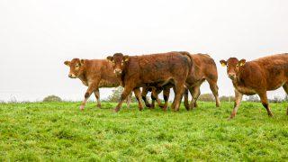 牛肉死亡:每周数字略有下降推动价格上涨