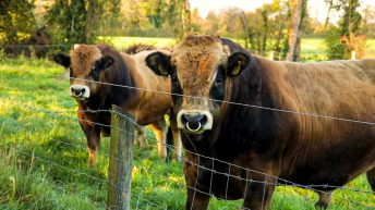 ICBF publishes updated active bull lists