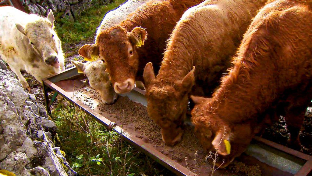calves Cattle Farms Benefit
