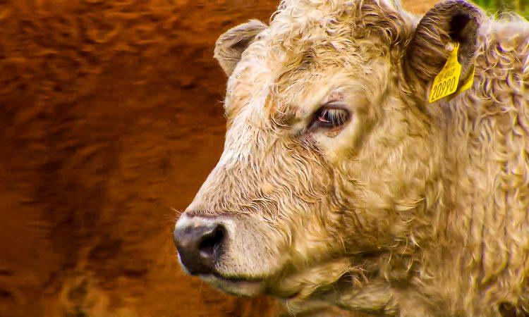 €50 million beef support scheme: The key points so far