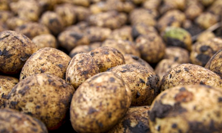 Brexit to revitalise Ireland's seed potato sector