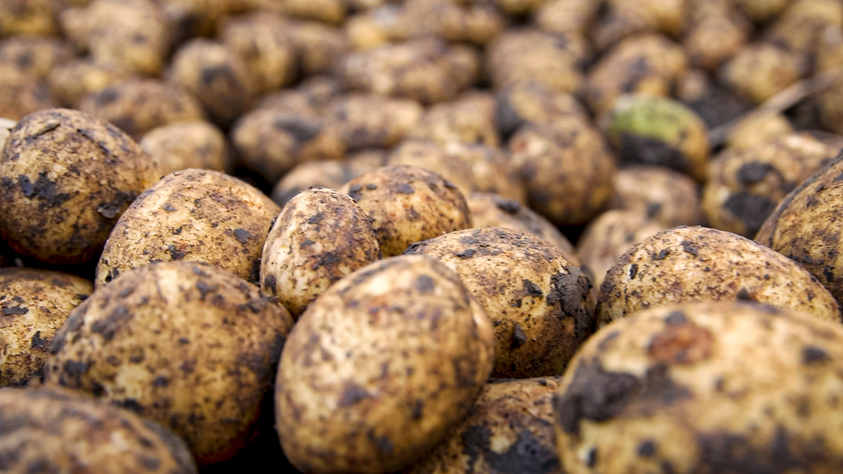 £2 million Covid-19 support scheme announced for potato growers