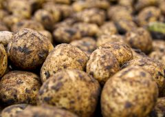 Potato prices: Weather affecting lifting…yields down 15%