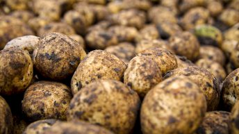 Potato prices: Rain halts progress in the fields