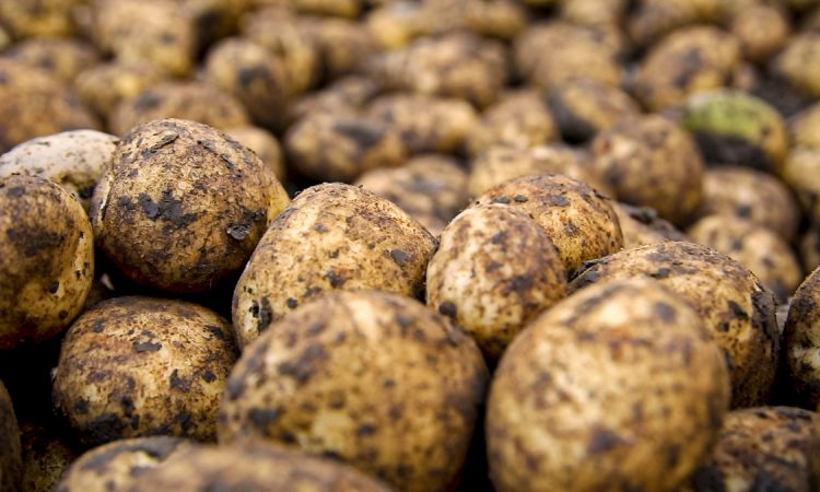 Potato prices: Area planted to Queens has increased