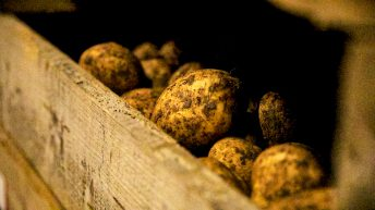 Potato prices: Early potato harvesting continues on the east coast