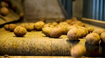 Potato stocks similar to 2019, but down on other years