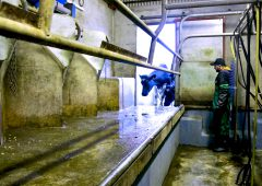 Have you started training heifers into the milking parlour yet?