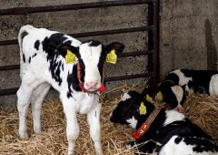 Better 'know-how' means producers can take advantage of improved calf milk replacers