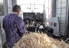 Calf exports running 22% ahead of last year