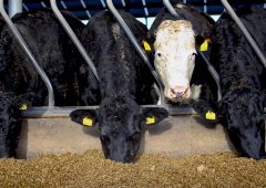 Beef trade: Uplift in prices for steers and heifers