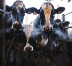 Bovine tuberculosis  eradication: how genetics can be part of the solution