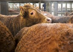 Department: Livestock marts to continue with online-only sales