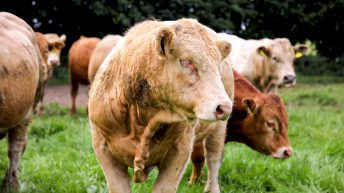 Emerald Isle Beef Producers expands range of cattle sought