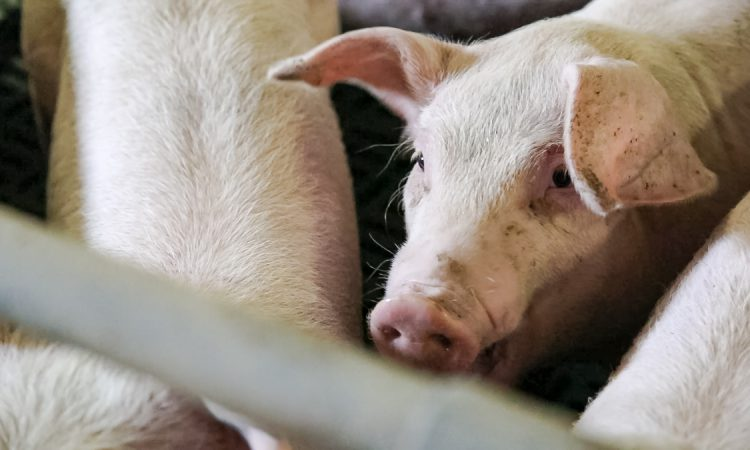 ASF: 'No imports of live pigs from Germany into Ireland this year'