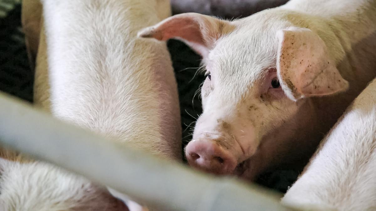 Rosderra and Kepak 'falling behind' on pig prices