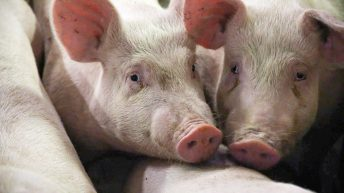 £2.2 million Covid-19 financial support announced for NI pig sector