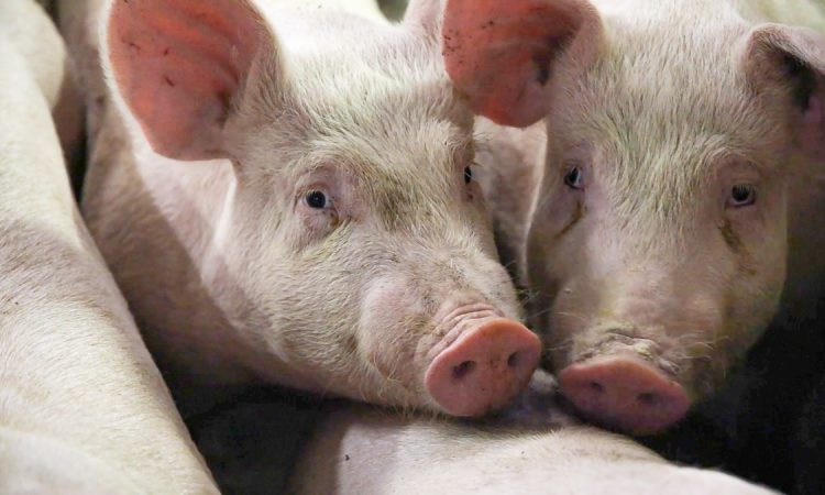 IFA says African swine fever case in Germany won't affect Irish trade