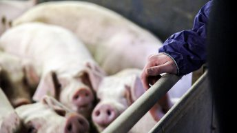 Germany confirms its first case of African swine fever