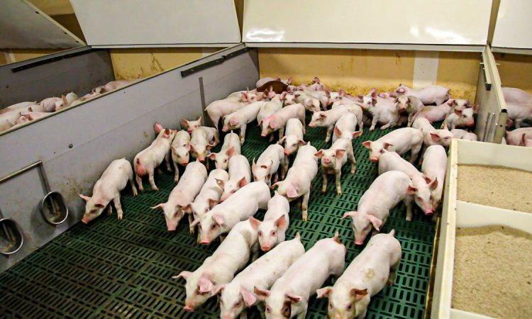 Feed price increases will hit pig farmers' bottom line immediately
