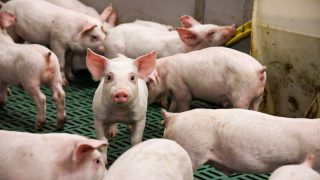 UK pig industry posts further reductions in antibiotic use