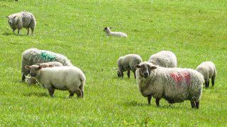 通过断奶羊羔造成压力