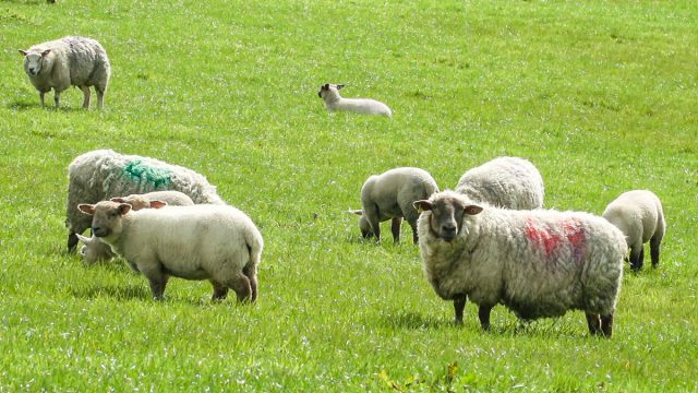 Taking the pressure off by weaning lambs