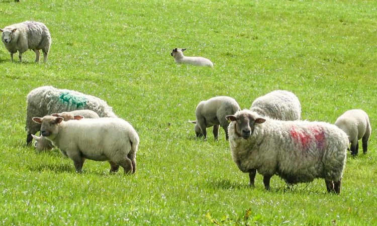 Graphic: 18 in-lamb ewes attacked in popular walkers spot in Sligo