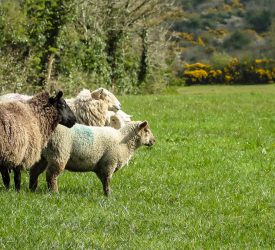 Precision livestock farming for sheep – have your say