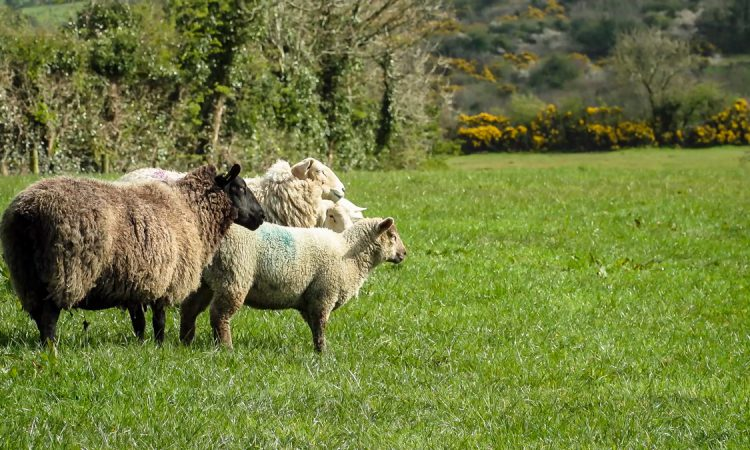 Reduce mortality at lambing time