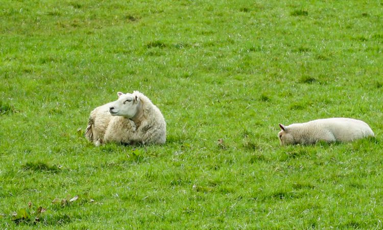 Over 30% of sheep farms earned less than €5,000 in 2019