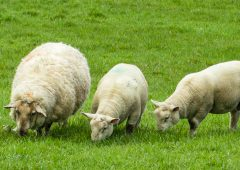 Veterinary Ireland welcomes 'whole flock' approach in new code of practice for antimicrobials