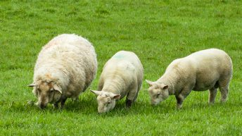 Opening of Year 5 of Sheep Welfare Scheme confirmed