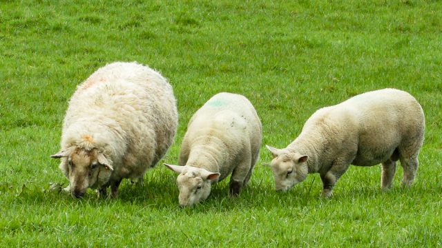 The Irish wool sector must be supported