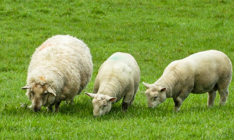 Sheep management: Turning attentions to weaning lambs