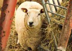Sheep farmers urged to reduce number of ewes wormed at lambing