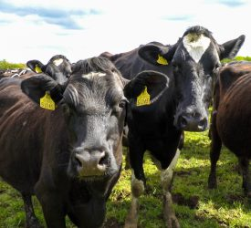 National herd increased by 1.5% in 2020