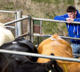 Marts 'the best option for many' as cattle 'remain scarce'