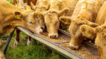 Beef trade: Decline in 'prime cattle' sent for direct slaughter to NI