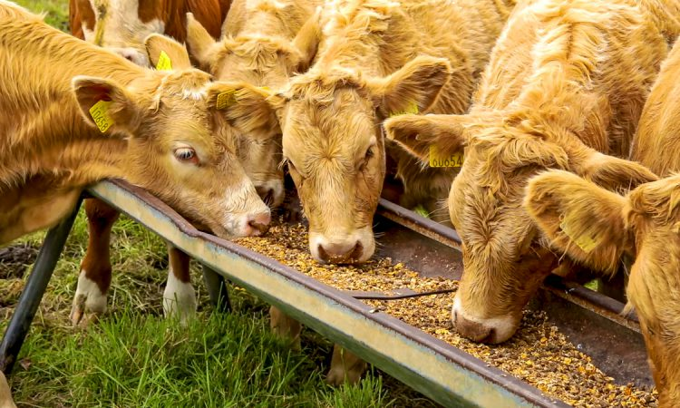 Gain places 'temporary hold' on some ruminant feed lines