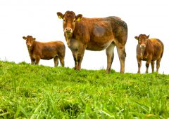 Irish Grass Fed Beef PGI application: Bulls excluded with travel limit inserted