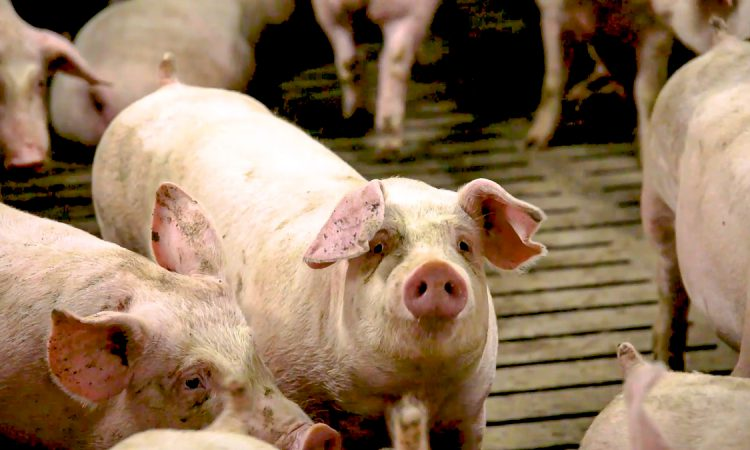 Calls made for pig price boost amid encouraging markets