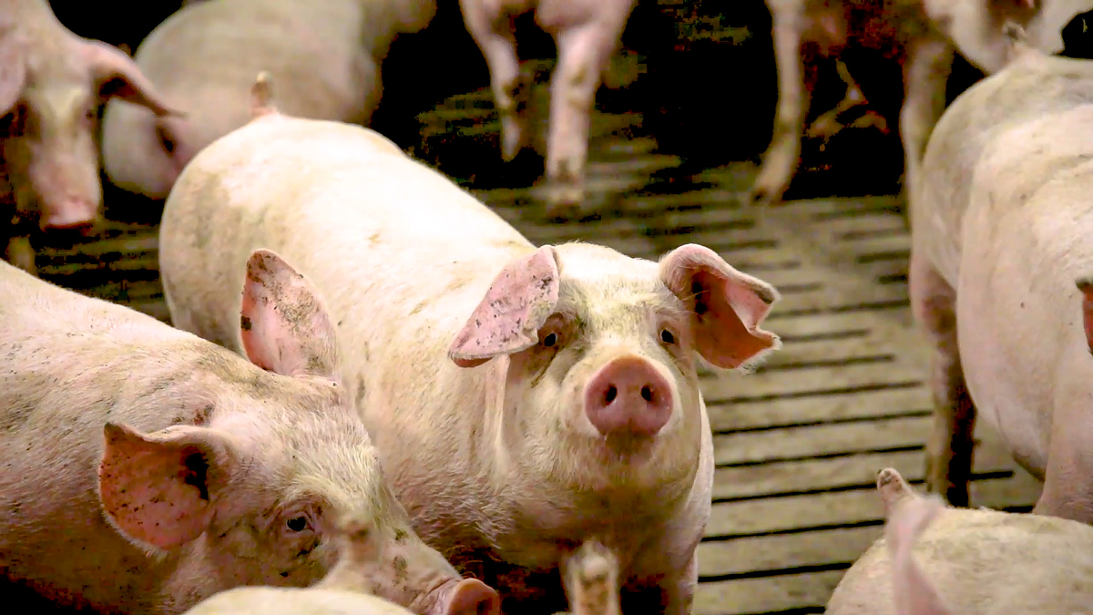Work permits need fast-tracking to deal with pig backlog – IFA