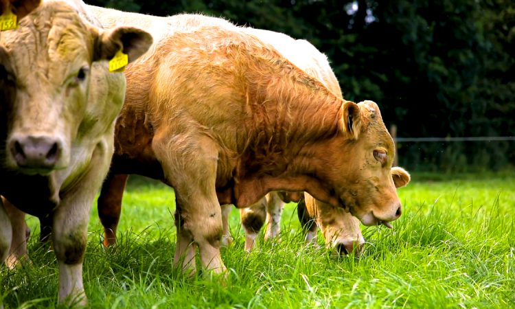 IFA urging farmers to apply for Beef Finishers Payment 'as soon as possible'