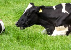 Nitrogen excretion figure for dairy cow rises in Teagasc review